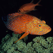 Coral Trout, good looking & tasting - Great Barrier Reef