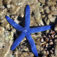 Blue Starfish in the rock pools
