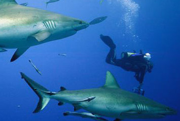 Scuba Diving with Grey Whaler Sharks in the Coral Sea