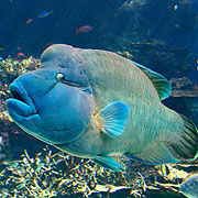 Humphead Maori Wrasse - Great Barrier Reef