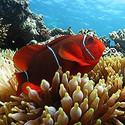 Spine Cheek Anemone Fish