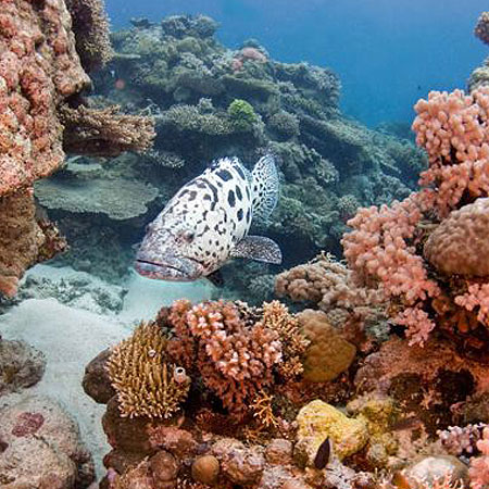 Cairns best price dive trips to the Cod Hole on the Great Barrier Reef
