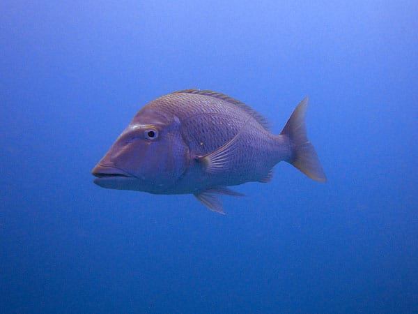 Red Bass on Hastings Reef