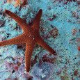 Great Barrier Reef Starfish