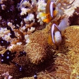 Clark's Anemonefish and Three-spot Dascyllus