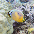 Butterflyfish of all types on the Great Barrier Reef