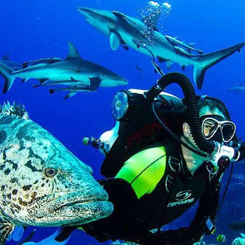 Scuba Diver with Giant Potato Cod on Mike Ball Dive Expeditions.