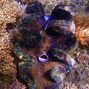Giant Clam - Green Island