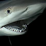 Shark with mouth open
