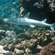 White Tip reef shark on the Great Barrier Reef.
