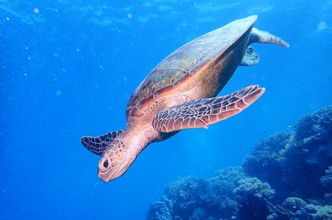 Sea Turtle Swimming at Moore Reef Cairns