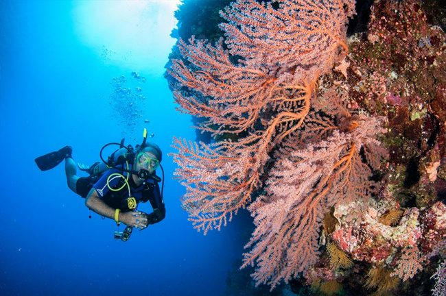 Scuba Diver with Pink Seafan at Osprey Reef Australia
