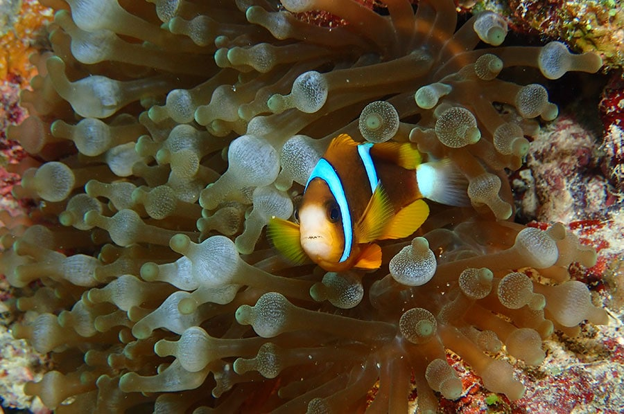 Anemone-fish swimming in Anemone