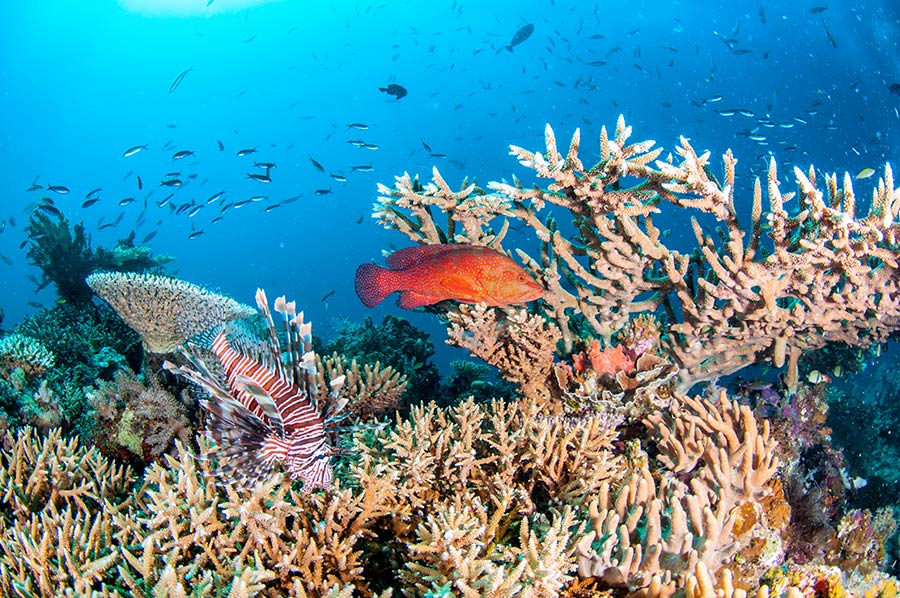 Bright healthy Coral, LionFish and Coral Cod at Pixie Pinnacle Dive Site