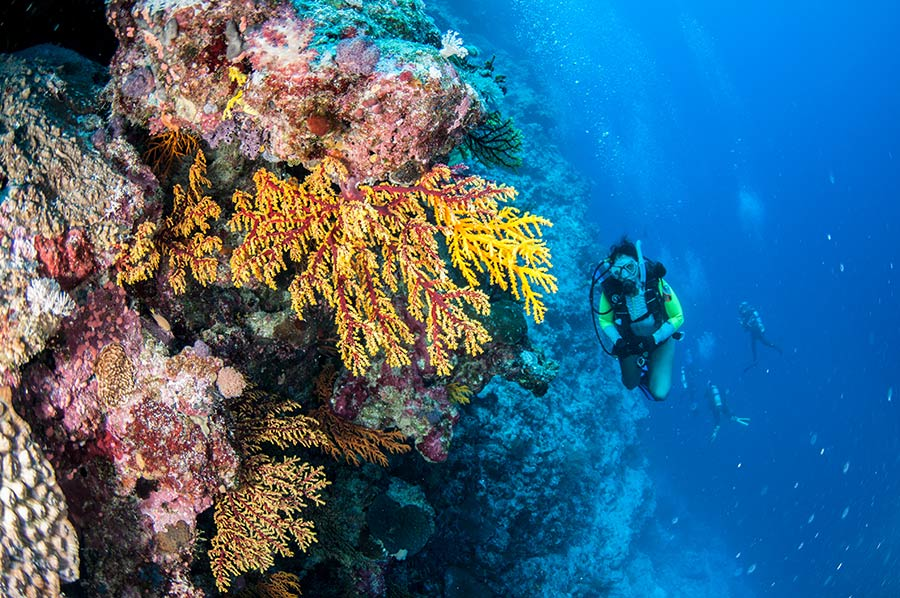 Colorful Seafans and Scuba Diver