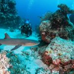 Scuba Diver & White Tip Reef Shark