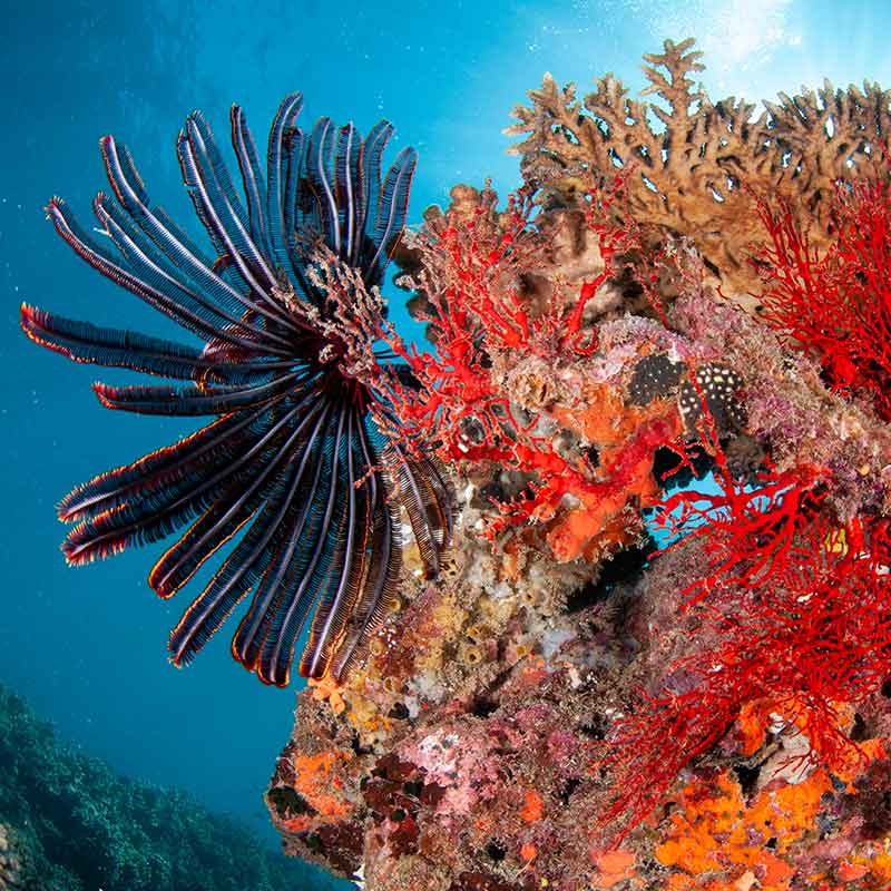 Red Seafan Coral with Clear Blue Water
