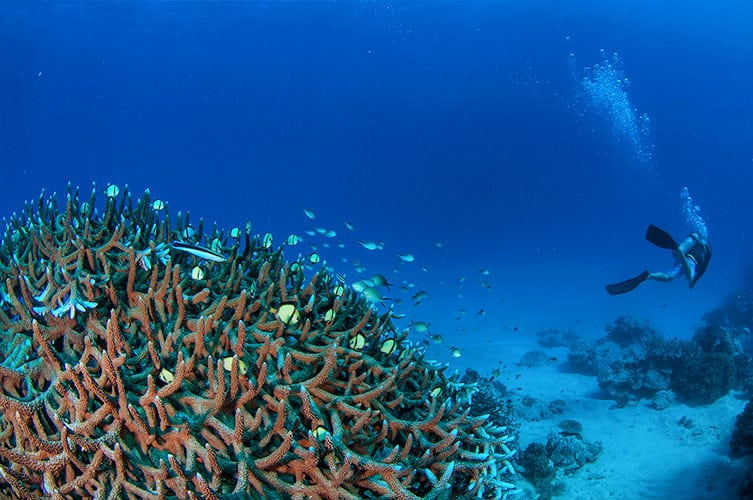 Staghorn Corals and Diver