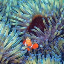 Orange-White Anemonefish found on the Great Barrier Reef