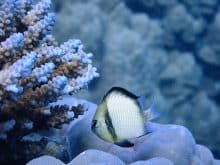 Fusilier reef fish