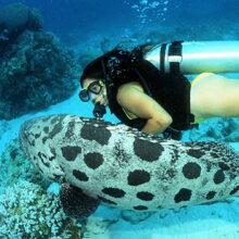 Great Barrier Reef Fish - Potato Cod