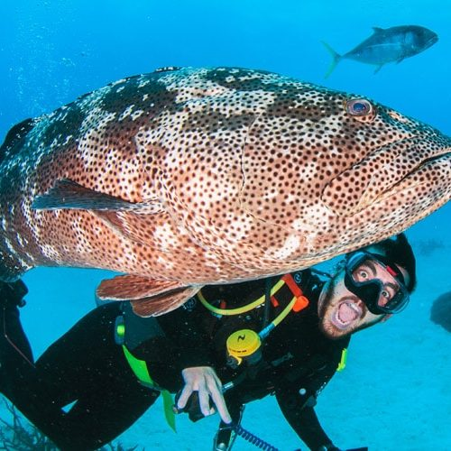 Giant Malabar Cod and Scuba Diver
