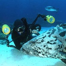 Great Barrier Reef underwater photography with Potato Cod